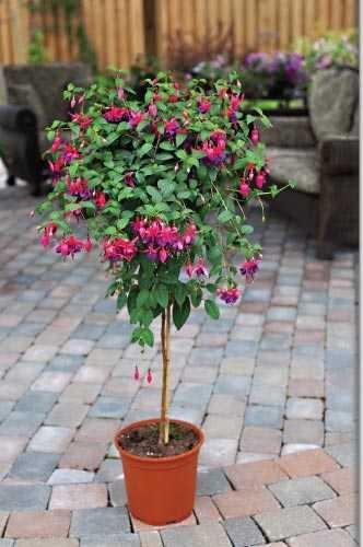 Fuchsia Tree NEW for Us Flowerama